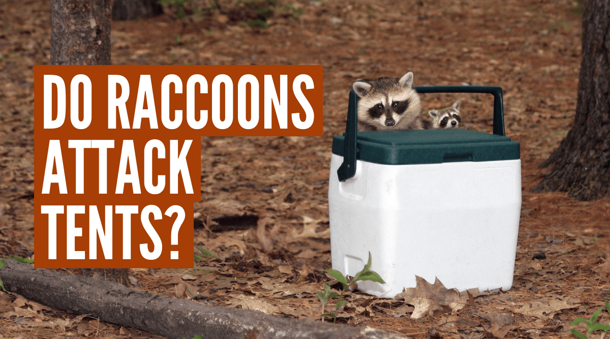 when camping outdoors do raccoons attack tents